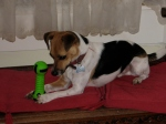 Lenny (Jack Russell) in love with his toy bone