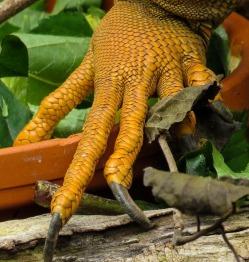 dragons-claw